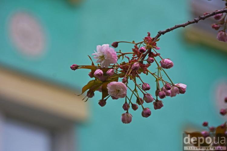 Херсон цветущие сакуры
